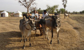 Bullock Cart Ride on Safari
