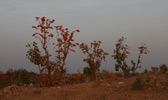 Flowering Dhak Trees