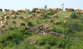 normadic-tribals-with-sheep